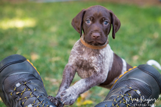 German-shorthaired-pointer-puppy-and-shoes